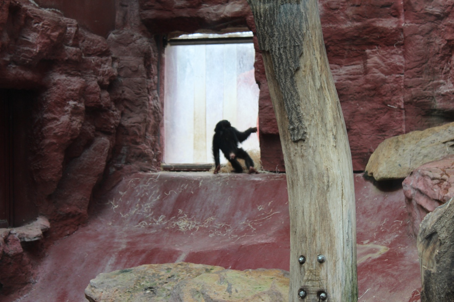 Schimpanse – klein