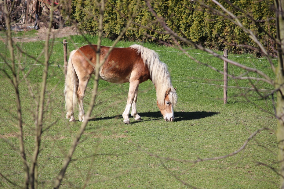 Haflinger – Holland
