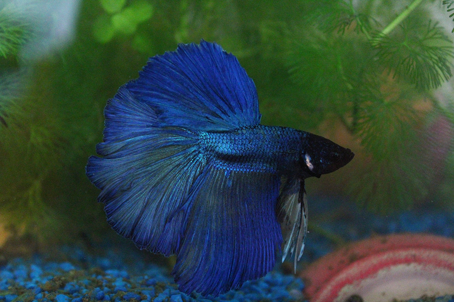 Betta splendes halfmoon blue